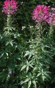 Spider Flower, Spider Legs, Grandfather's Whiskers, Cleome photo pink
