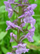 Fragrant Orchid, Mosquito Gymnadenia