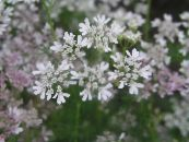 Garden Flowers Coriander, Cilantro, Chinese Parsley, Coriandrum photo white