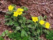 Garden Flowers Cinquefoil, Potentilla photo yellow