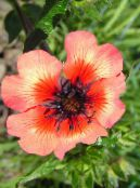 Garden Flowers Cinquefoil, Potentilla photo orange