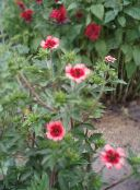 Garden Flowers Cinquefoil, Potentilla photo pink