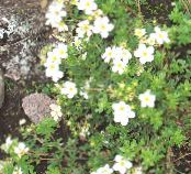 Garden Flowers Cinquefoil, Potentilla photo white