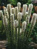 Gayfeather, Blazing Star, Button Snakeroot white
