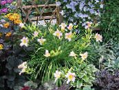 Garden Flowers Daylily, Hemerocallis photo pink