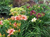 Garden Flowers Daylily, Hemerocallis photo burgundy