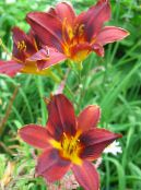 Garden Flowers Daylily, Hemerocallis photo red