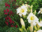 Garden Flowers Daylily, Hemerocallis photo white