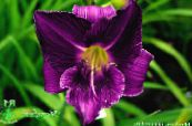 Garden Flowers Daylily, Hemerocallis photo purple
