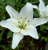 Lily The Asiatic Hybrids white