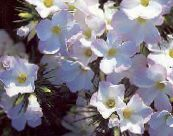 Large-flowered Phlox, Mountain Phlox, California Phlox white