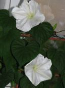 Moonflower, Moon Vine, Giant White Moonflower white