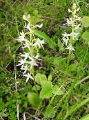 Species Orchid, Lesser Butterfly Orchid, Two-Leafed Platanthera white