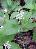 False Lily of the Valley, Wild Lily of the Valley, Two-leaf False Solomon's Seal white