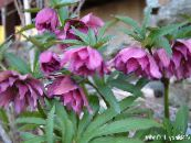 Christmas Rose, Lenten Rose
