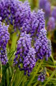 Garden Flowers Grape hyacinth, Muscari photo purple