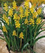 Garden Flowers Grape hyacinth, Muscari photo yellow
