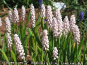 Garden Flowers Grape hyacinth, Muscari photo pink