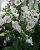 Garden Flowers Foxglove, Digitalis photo white