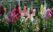 Garden Flowers Foxglove, Digitalis photo burgundy