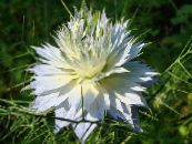 Garden Flowers Love-in-a-mist, Nigella damascena photo white