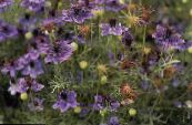 Garden Flowers Love-in-a-mist, Nigella damascena photo purple