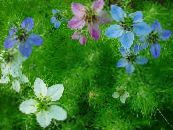 Garden Flowers Love-in-a-mist, Nigella damascena photo lilac