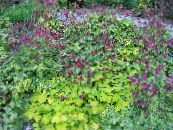 Garden Flowers Columbine flabellata, European columbine, Aquilegia photo purple