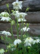 Garden Flowers Columbine flabellata, European columbine, Aquilegia photo white