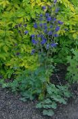 Garden Flowers Columbine flabellata, European columbine, Aquilegia photo blue
