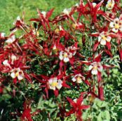 Garden Flowers Columbine flabellata, European columbine, Aquilegia photo red