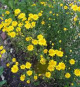Golden Marguerite, Dyer's Chamomile yellow