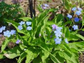 Navelwort , Blue-Eyed-Mary, Creeping Forget-Me-Not