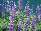 Lupin Streamside pourpre