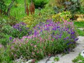 Garden Flowers Clary Sage, Painted Sage, Horminum Sage, Salvia photo pink