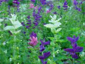 Garden Flowers Clary Sage, Painted Sage, Horminum Sage, Salvia photo white