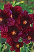les fleurs du jardin Painted Tongue, Salpiglossis photo vineux