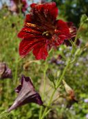 les fleurs du jardin Painted Tongue, Salpiglossis photo rouge