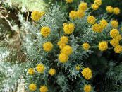 Garden Flowers Lavender Cotton, Holy Herb, Ground Cypress, Petite Cypress, Green Santolina photo yellow