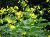 Cup Plant. Rosinweed yellow