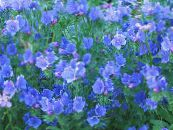 Bugloss, Le Salut Jane, La Malédiction De Paterson, Riverina Jacinthe De Vipère Violet