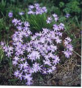 Garden Flowers Glory of the snow, Chionodoxa photo lilac