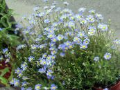 Garden Flowers Blue Daisy, Blue Marguerite, Felicia amelloides photo light blue
