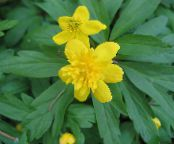 Double-Flowered Yellow Wood Anemone, Buttercup Anemone, Anemone ranunculoides photo yellow