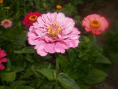 Garden Flowers Zinnia photo pink