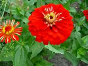Garden Flowers Zinnia photo red