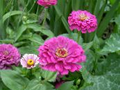Garden Flowers Zinnia photo lilac