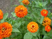Garden Flowers Zinnia photo orange