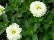 Garden Flowers Zinnia photo white