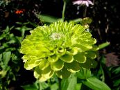 Garden Flowers Zinnia photo green